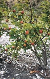 Help Tibet, apples in Tserok